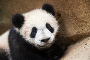 Portrait of Giant panda cub captive. Beauval Zoo, France by Eric Baccega