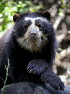 Portrait of Male Spectacled Bear Chaparri Ecological Reserve, Peru, South America by Eric Baccega