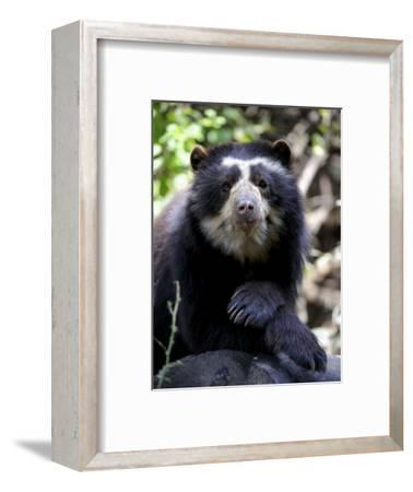 Portrait of Male Spectacled Bear Chaparri Ecological Reserve, Peru, South America