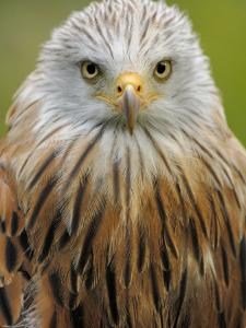 Red Kite, Iucn Red List of Endangered Species Captive, France by Eric Baccega
