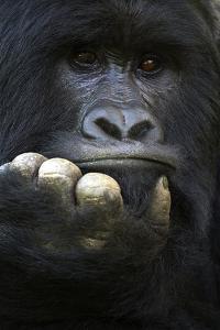 RF - Mountain gorilla silverback male, portrait, Mgahinga National Park, Uganda by Eric Baccega