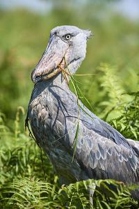 Shoebill stork after eating a Spotted African lungfish, Lake Victoria, Uganda. by Eric Baccega