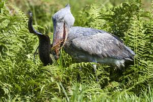 Shoebill stork feeding on a Spotted African lungfish in the swamps of Mabamba, Lake Victoria by Eric Baccega