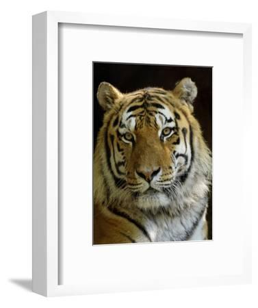 Siberian Tiger Male Portrait, Iucn Red List of Endangered Species