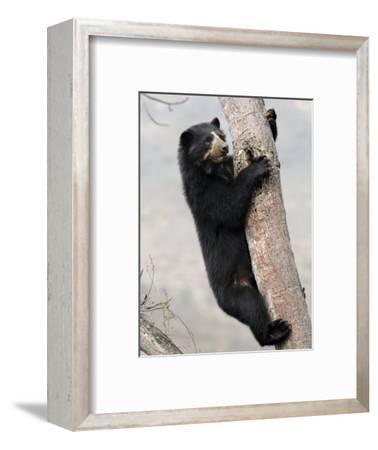 Spectacled Bear Climbing in Tree, Chaparri Ecological Reserve, Peru, South America