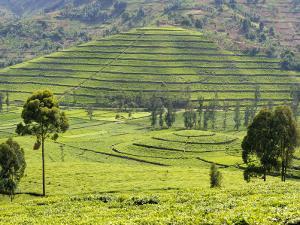 Tea Plantation Near Nyunguwe, Rwanda, Africa by Eric Baccega