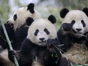Three Subadult Giant Pandas Feeding on Bamboo, Wolong Nature Reserve, China by Eric Baccega