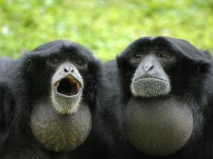 Two Siamang Gibbons Calling, Vocal Pouches Inflated, Endangered, from Se Asia by Eric Baccega