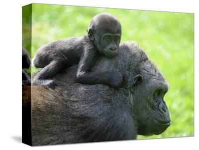 Western Lowland Gorilla Mother Carrying Baby on Her Back. Captive, France