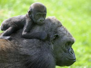 Western Lowland Gorilla Mother Carrying Baby on Her Back. Captive, France by Eric Baccega