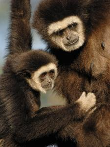 White Handed Gibbon Mother and Young, Endangered, from Se Asia by Eric Baccega