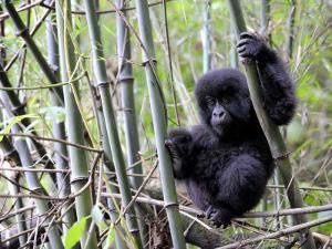 Young Mountain Gorilla Climbing on Bamboo, Volcanoes National Park, Rwanda, Africa by Eric Baccega