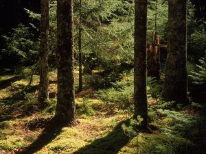 Moss Spruce Trees, Acadia National Park, ME by Eric Horan