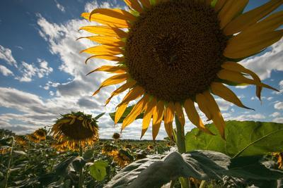 A Large Sunflower Stands Above the Rest in a Large Field