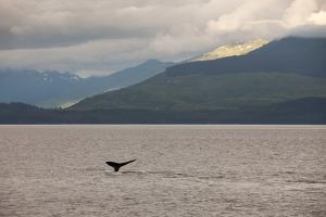 Among Mountains and Lush Hillsides, the Tail Fin of a Humpback Whale Breaches the Water by Eric Kruszewski