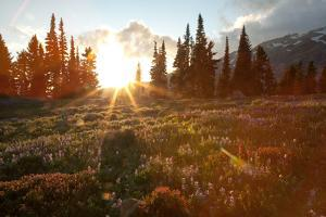 Wildflowers Cover a Landscape on Mount Rainier as the Sun Sets Behind Evergreen Trees by Eric Kruszewski