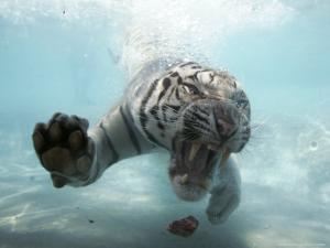 Odin the Tiger, Vallejo, California by Eric Risberg