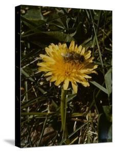 Bee in Flower by Eric Schaal