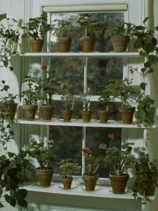 Geraniums by Eric Schaal