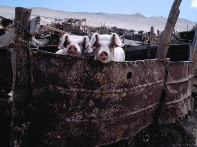 Pigs Looking Out of Pen, Ilave, Puno, Peru