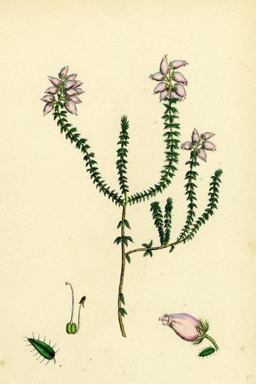 Erica Tetralici-Ciliaris Hybrid Between Fringed-Leaved and Cross-Leaved Heaths--Giclee Print