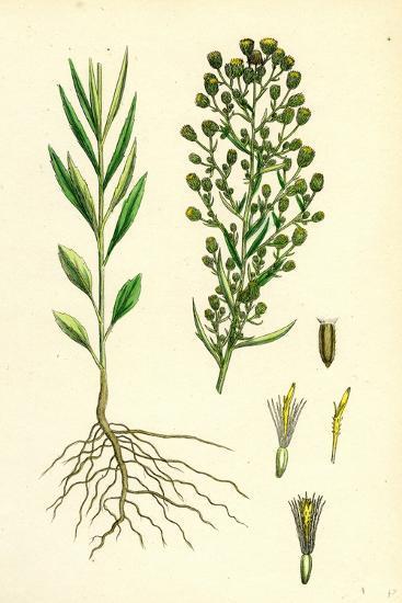 Erigeron Canadensis Canadian Fleabane--Giclee Print