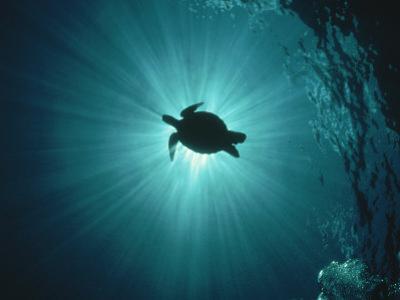 Silhouette of Underwater Sea Turtle from Beneath by Erik Stein