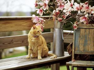 Close-up of Alert Ginger Cat, on Wooden Bench, with Twigs of Flowering Magnolia in Metal Jug by Erika Craddock