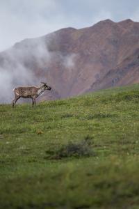 A Caribou, Rangifer Tarandus, Stands Alone in Denali National Park by Erika Skogg