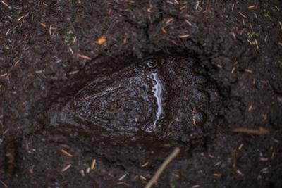 A Close Up of a Brown Bear Track in Alaska by Erika Skogg