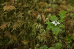 A Dwarf Dogwood, Cornus Canadensis, Flower Stands Alone in Southeast Alaska by Erika Skogg