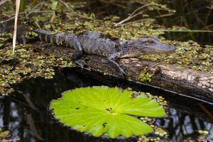 A Juvenile Crocodile in Everglades National Park by Erika Skogg
