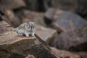A Pika, Ochotona, Sits on a Rock in Denali National Park by Erika Skogg