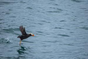 A Tufted Puffin, Fratercula Cirrhata, Takes Off in Flight at Glacier Bay National Park by Erika Skogg