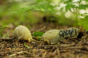 Banana Slugs, Ariolimax, Crawl on Underbrush in a Southeast Alaskan Forest by Erika Skogg