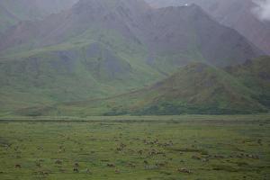 Caribou, Rangifer Tarandus, Graze in Denali National Park by Erika Skogg