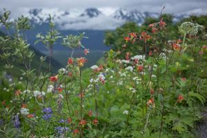 Field of Lupine, Lupinus, Columbine, Aquilegia, and Other Wild Flowers in Alaska by Erika Skogg