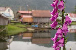 Foxgloves, Digitalis, Flowers Bloom in Front of an Alaskan Fishing Village by Erika Skogg