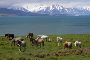 Icelandic Horses in a Field on the Coast by Erika Skogg