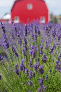 Lavender Fields with a Red Barn in the Background by Erika Skogg