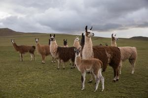 Llamas and Alpacas Grazing in the Mountains of Peru by Erika Skogg