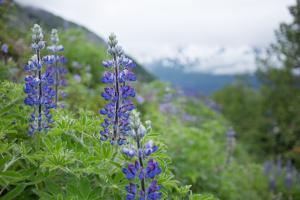 Lupine, Lupinus, Flowers Grow with a Mountain Vistas Beyond by Erika Skogg