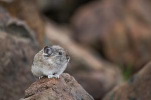 Pika, Ochotona, Stands on a Rock in Denali National Park by Erika Skogg