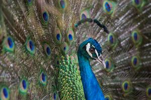 Portrait of Male Peacock, Pavo Muticus by Erika Skogg