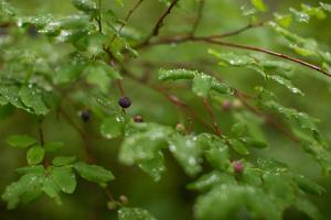 Ripening Blueberries, Cyanococcus, on the Branch in Alaska by Erika Skogg