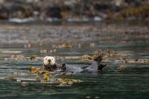 Sea Otter, Enhydra Lutris, Floats Wrapped Up in a Kelp by Erika Skogg