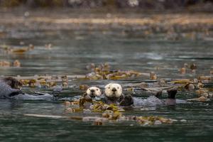 Sea Otters, Enhydra Lutris, Float Wrapped in Kelp by Erika Skogg