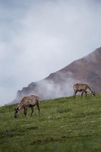 Two Caribou, Rangifer Tarandus, Graze in Denali National Park by Erika Skogg