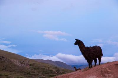 Two Llamas Stand in the Mountains of Peru