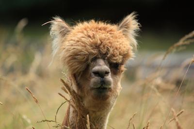Alpaca Lama by erikgessinger
